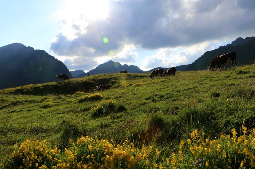 Weides vol Alpenkoeien