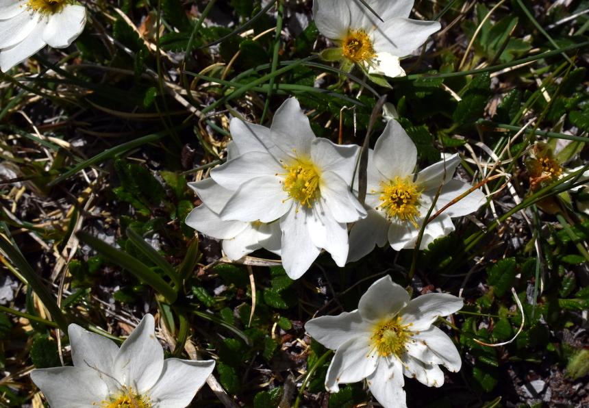 Bloemen in de regio Nockberge