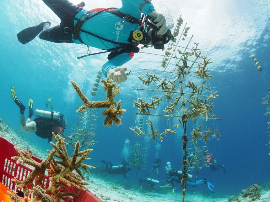 Staghorn koraal in de kraamkamer op Bonaire