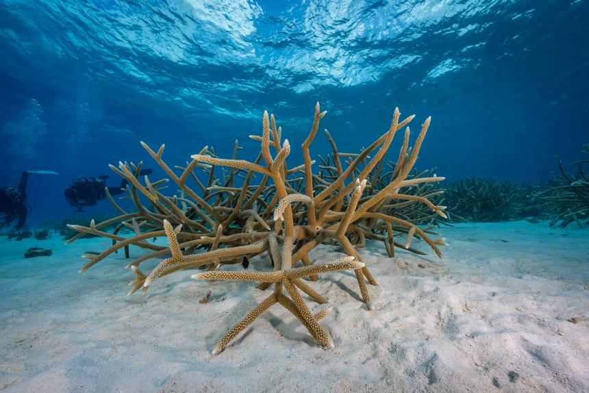 Staghorn koraalkolonie