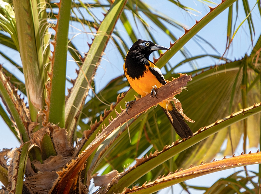 Oranje Troepiaal op Bonaire