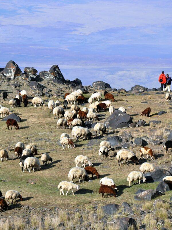 Ararat vlakte