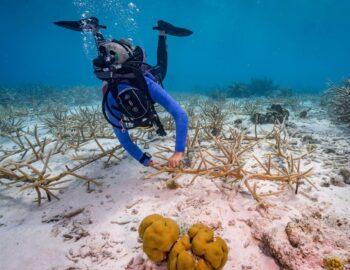 Hoe het koraalrif in Bonaire wordt vernieuwd