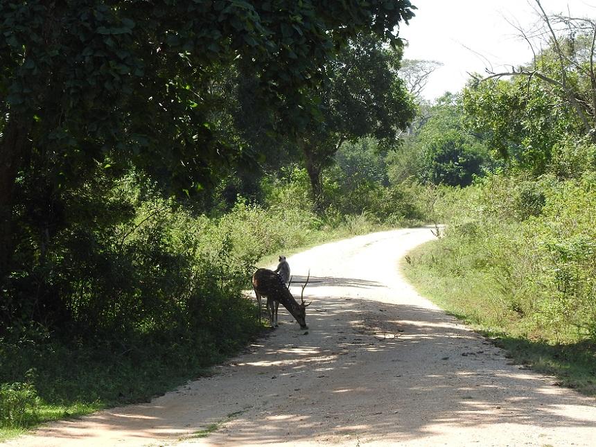 Hert en aap Udawalawe