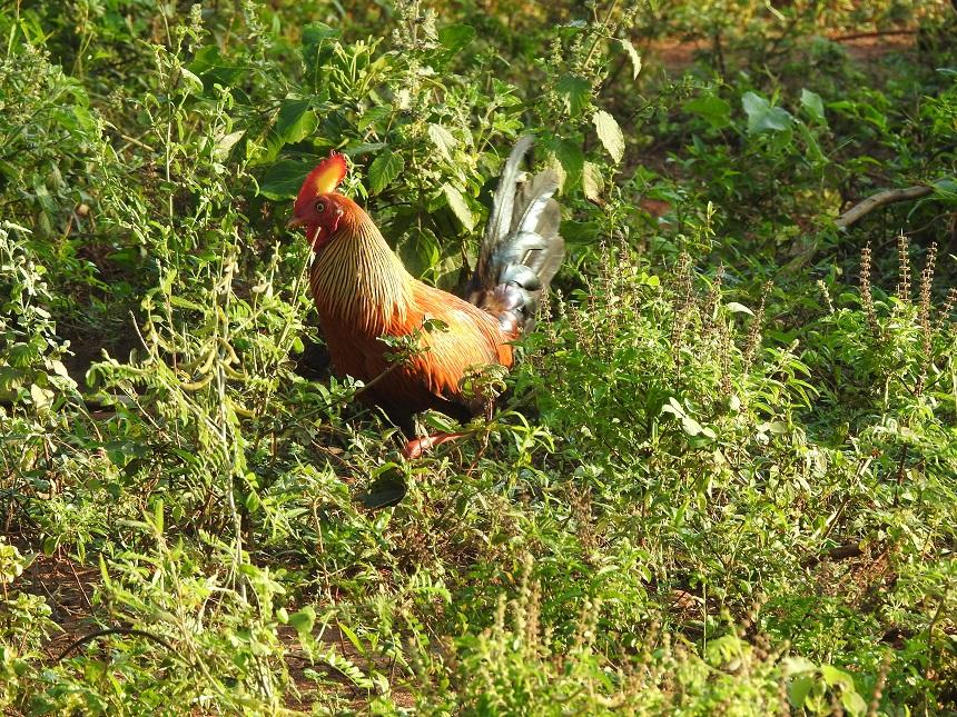 Het endemische ceylonhoen– wali kukula in Singalees – is namelijk de nationale vogel van Sri Lanka