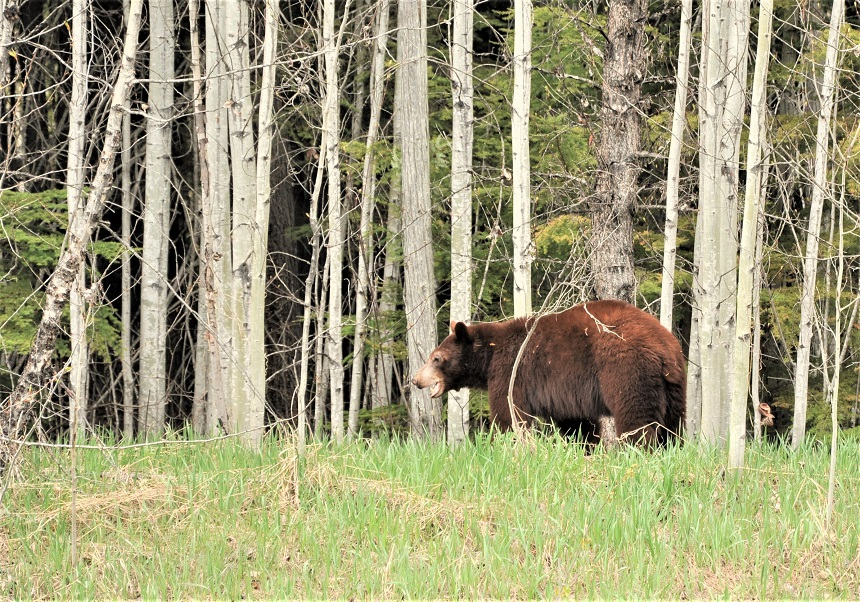 Grizzly beer langs de weg