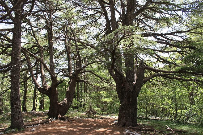 libanon-cederbomen