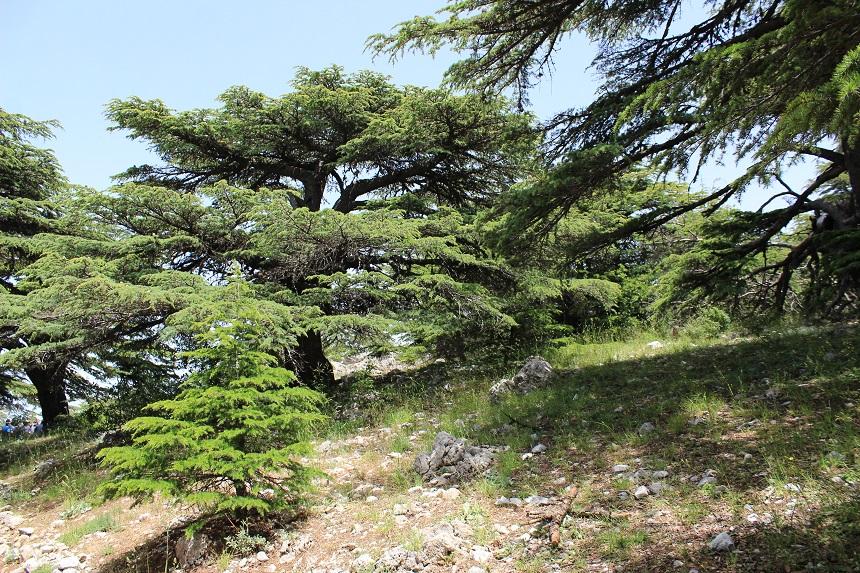 libanon-cederboom