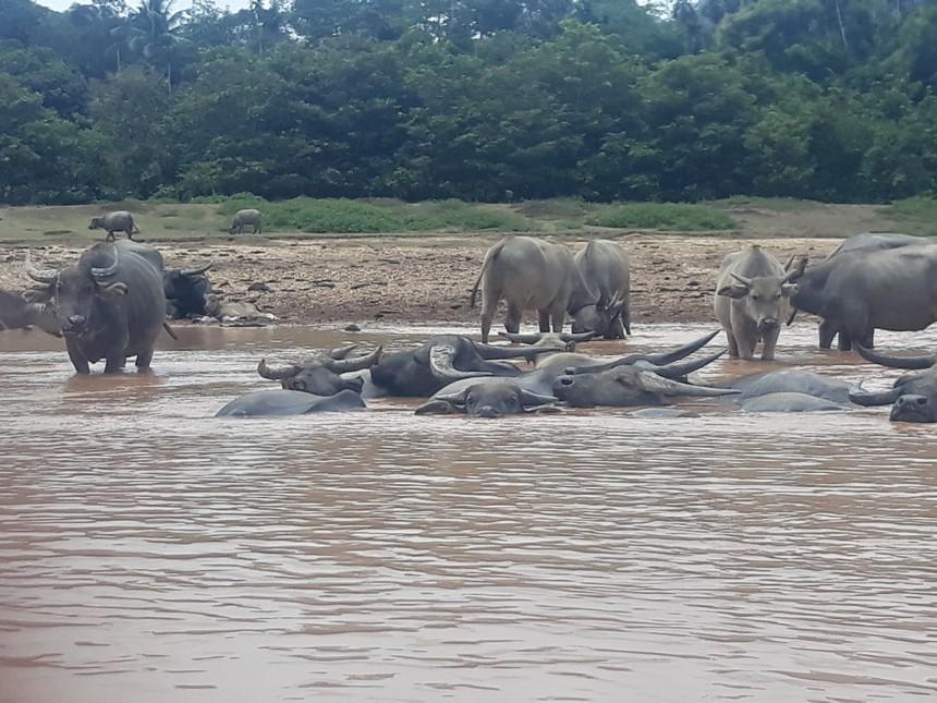 Buffels in Taman Negara