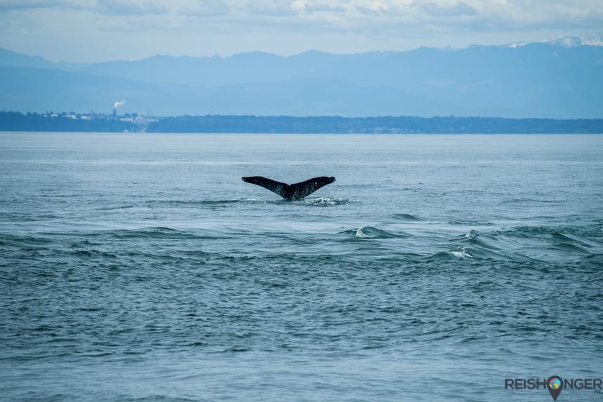 De San Juan eilanden: een van de beste plekken ter wereld om walvissen en orka's te spotten