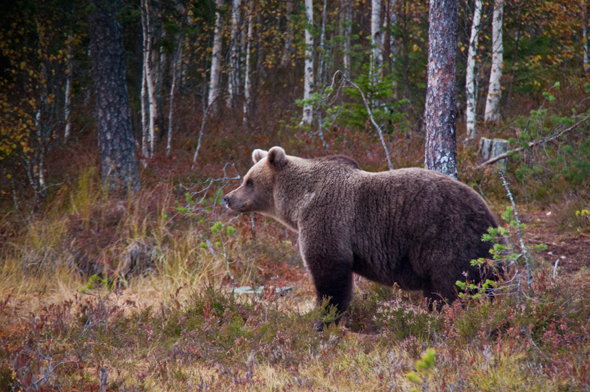 Wild Brown Bear Centre