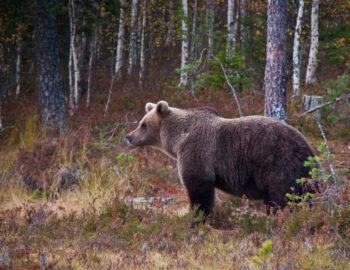 Ongerepte natuur in Oost-Finland