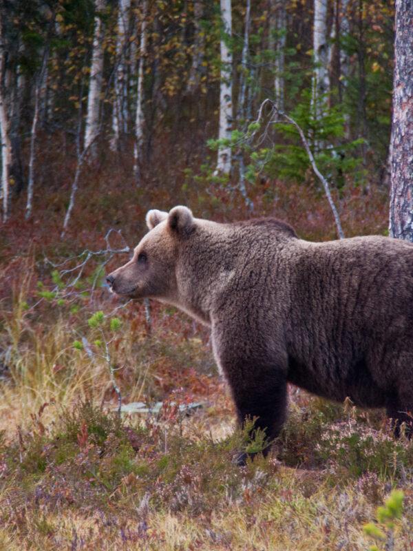 Beren spotten in Oost-Finland