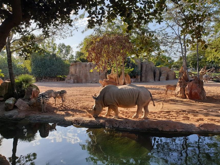 Bioparc Valencia - neushoorn op de savanne