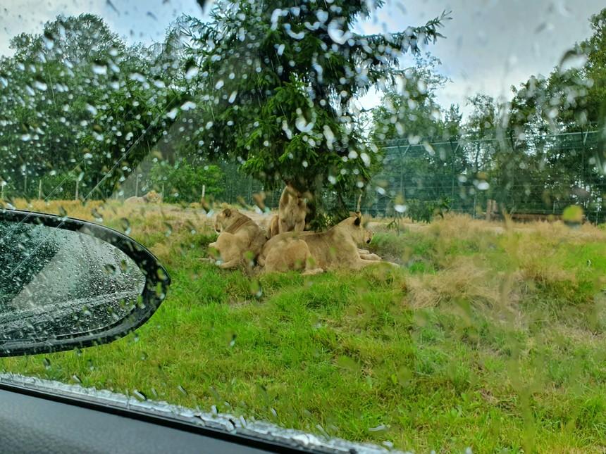 givskud leeuwensafari