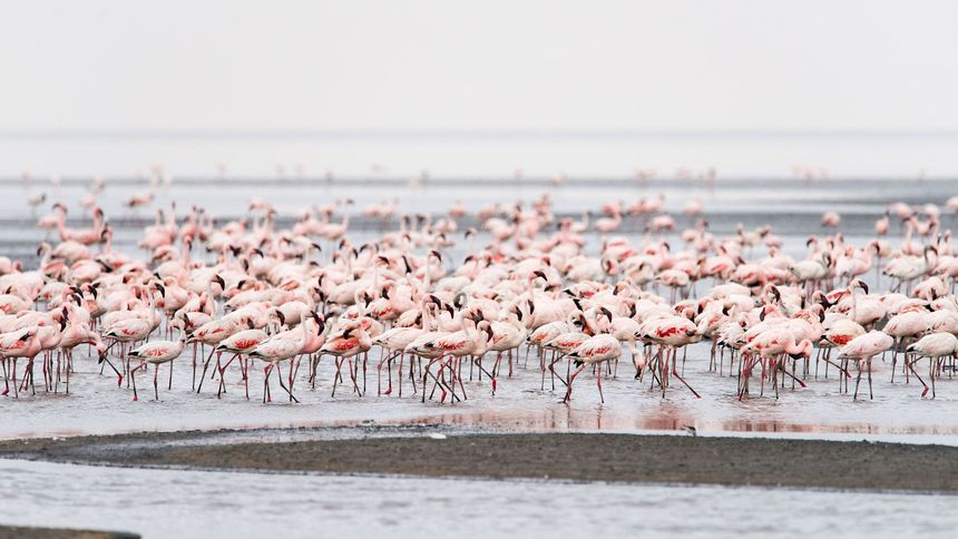 Duizenden flamingo's in Lake Natron, Tanzania