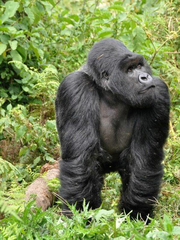 Gorilla Bwindi Forest Oeganda