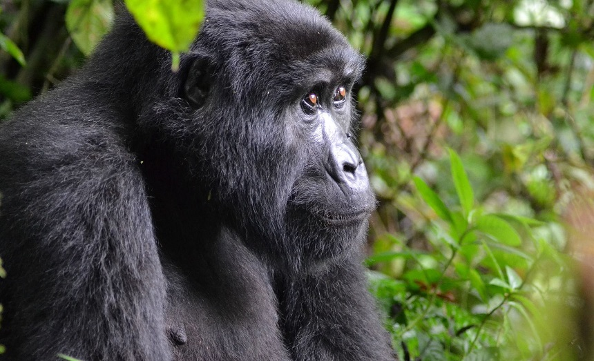 Imposante berggorilla in Bwindi Impenetrable Forest