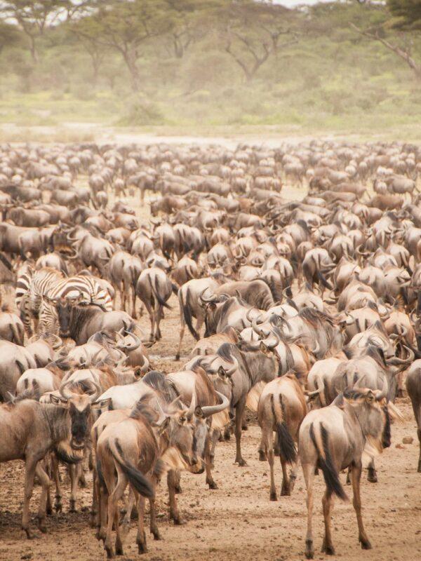 Grote trek van miljoenen gnoes in de Serengeti
