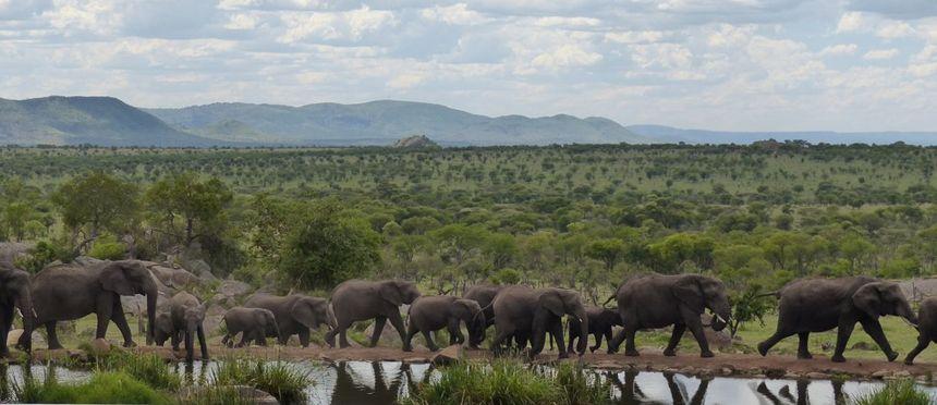 Grote kuddes olifanten in Serengeti Nationaal Park