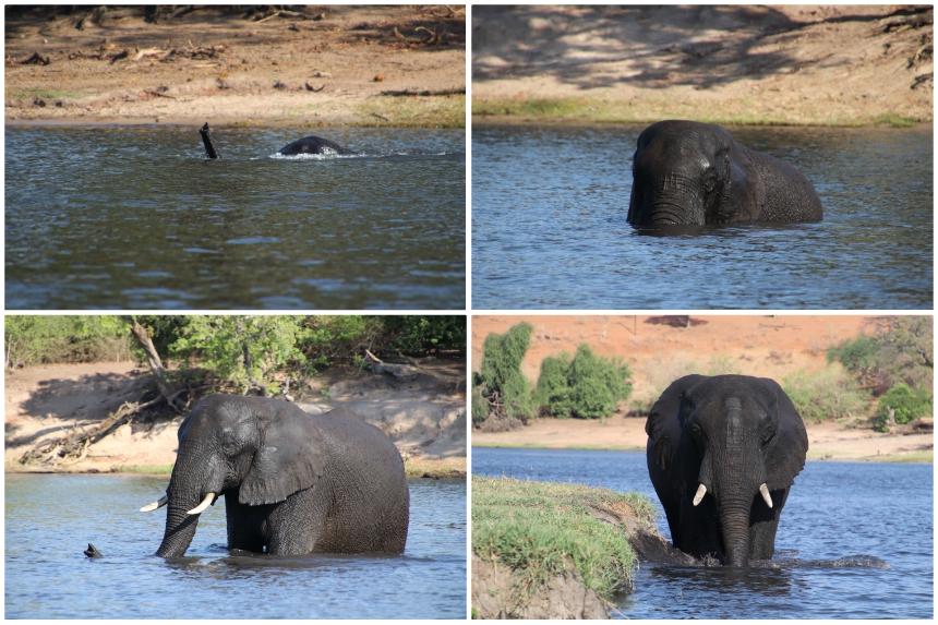 Zwemmende olifant in Chobe nationaal park in Botswana