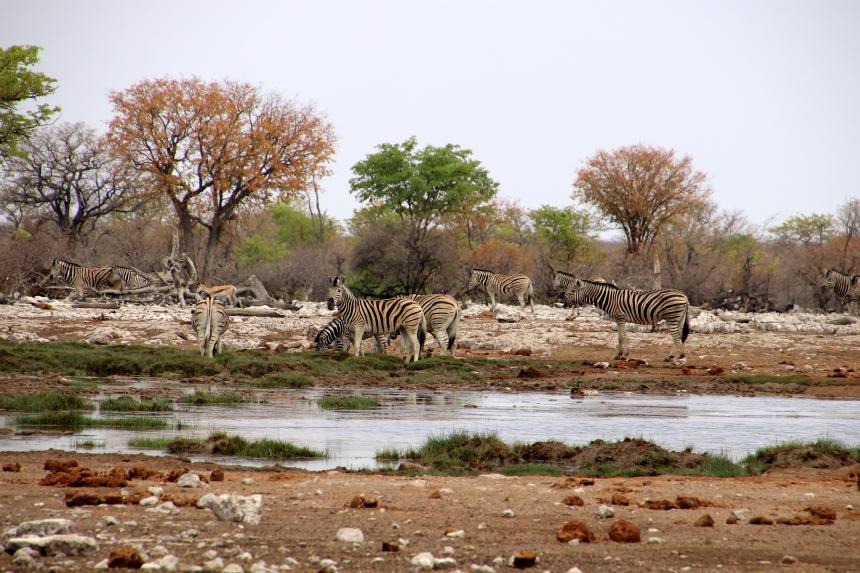 Omdat Etosha zo droog is, maak je bij de waterholes de meeste kans op het zien van dieren