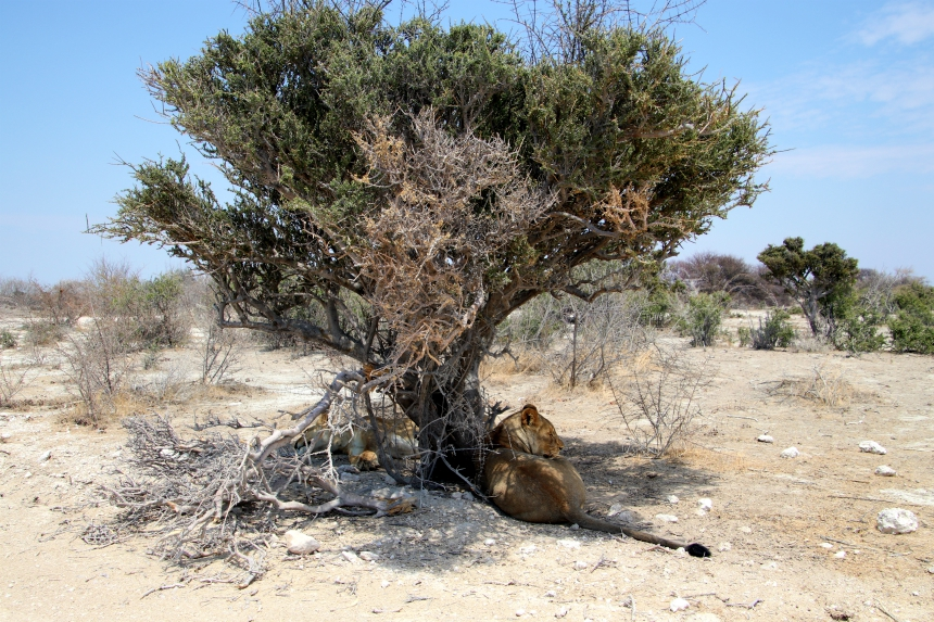 Nog nooit zag ik van zó dichtbij leeuwen in het wild als in Etosha