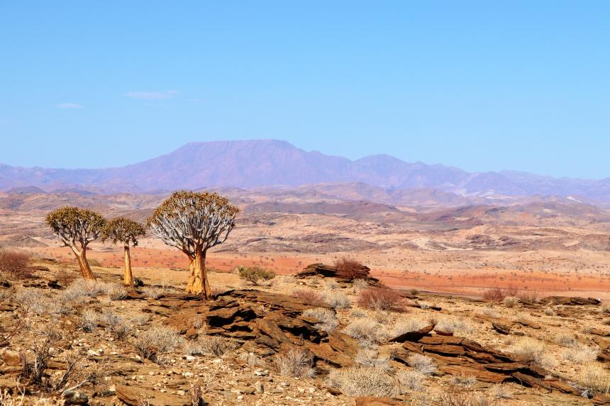 Kokerbomen in een canyon in de Namibwoestijn