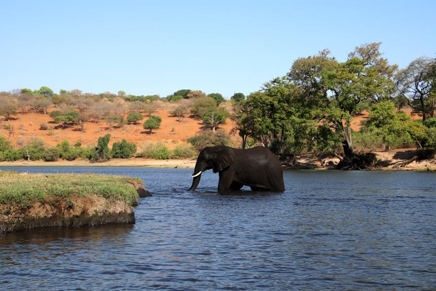 Wat een geluk: een olifant zien zwemmen in Chobe, Botswana