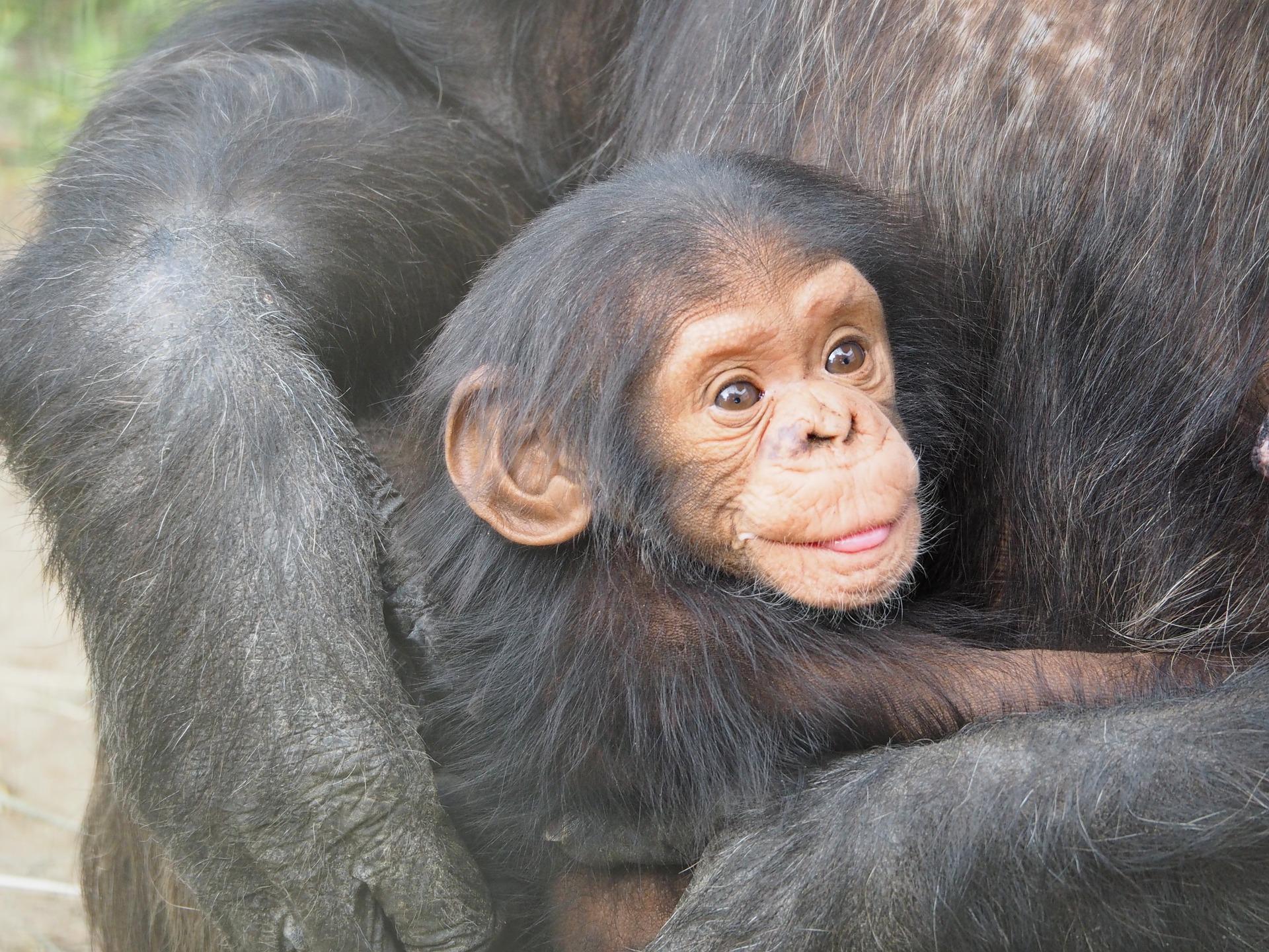 Chimpansees in Oeganda