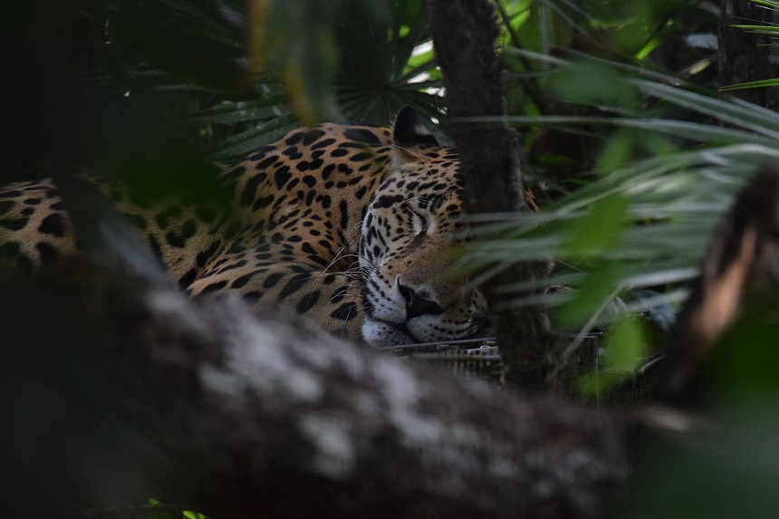 jaguar belize zoo
