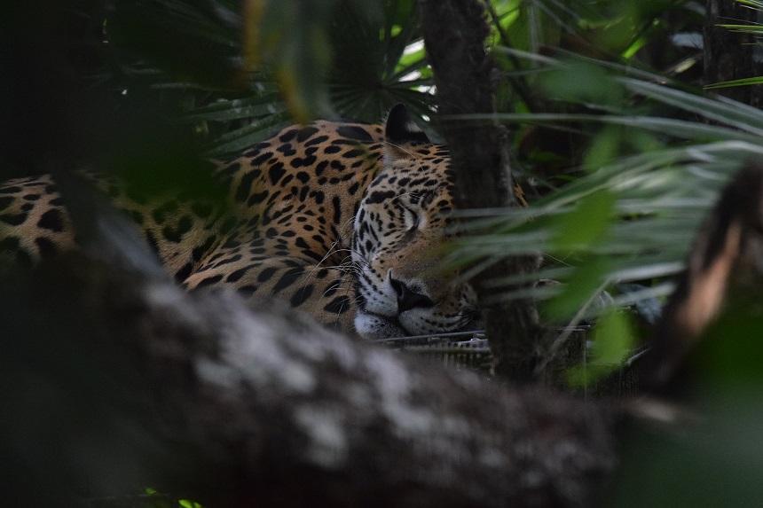 jaguar belize zoo