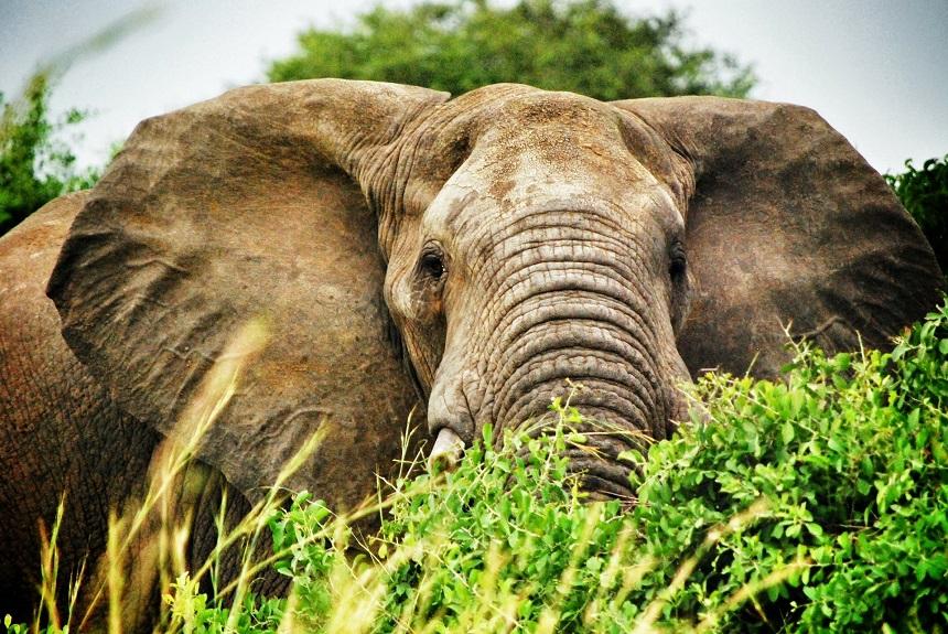 Uganda olifant
