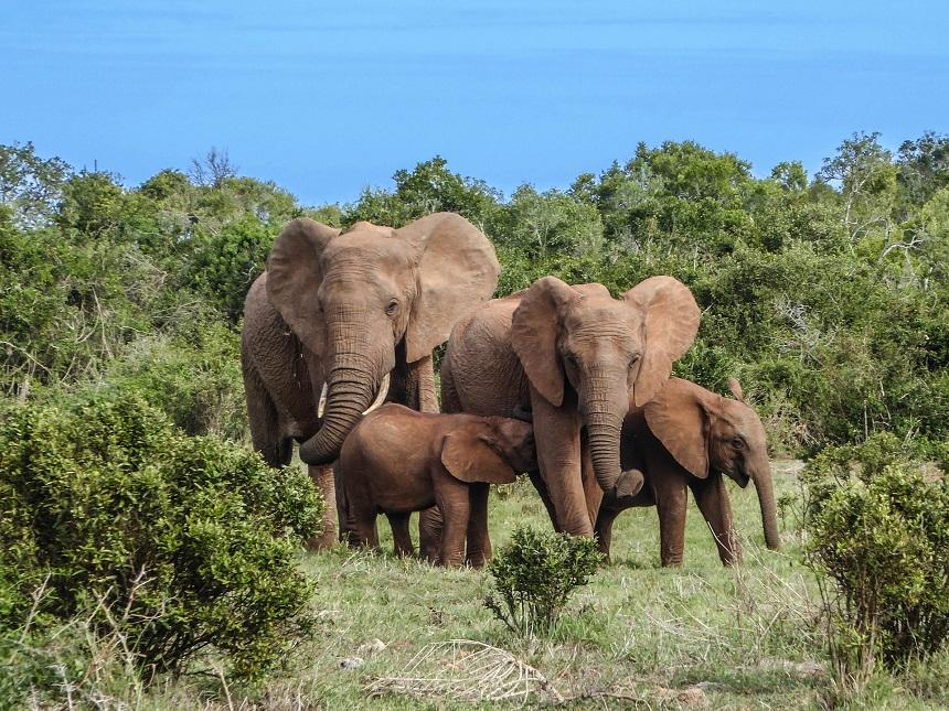 Olifanten familie met spelende baby olifantjes in Addo Elephant Park Zuid-Afrika