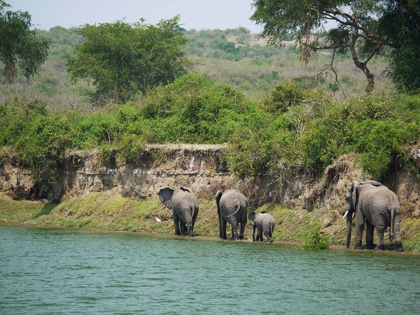 Olifanten in Oeganda
