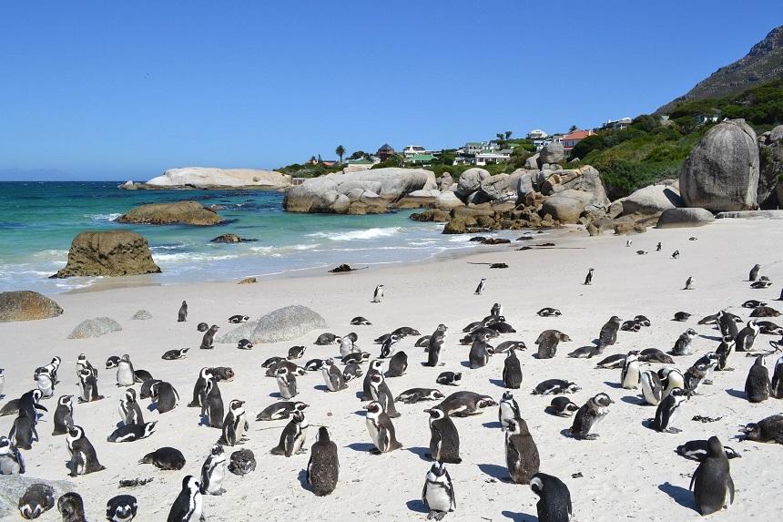 Zwartvoet-pinguïns spotten bij Boulders Beach in Simons Town