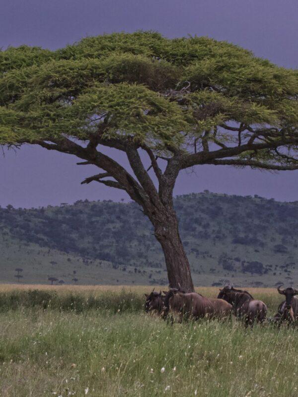Kenmerkende landschap van Serengeti Nationaal Park