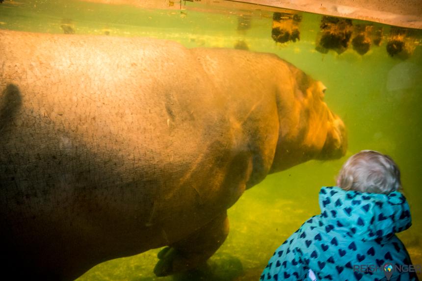 Een zwemmend nijlpaard in de Hannover Zoo