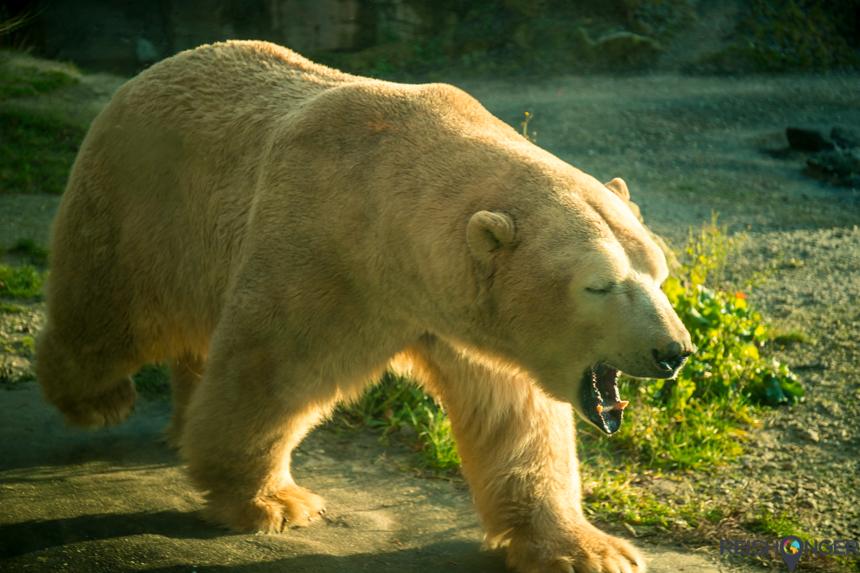 IJsbeer in de Hannover Zoo