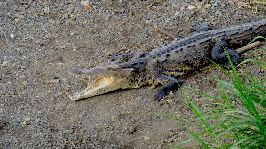 Krokodillen bij de Rio Grande de Tárcoles