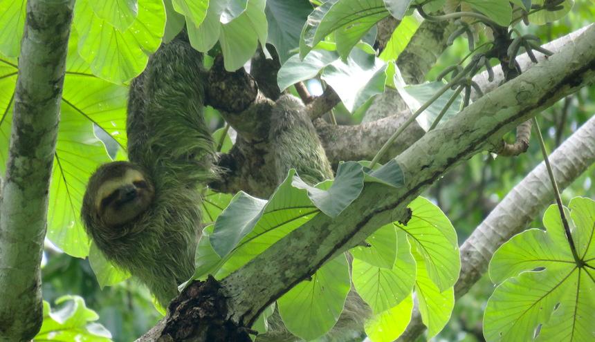 Een luiaard in Manuel Antonio