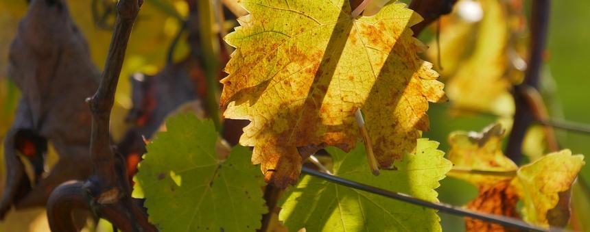 De winter is laat. Wijnranken hebben nog blad.