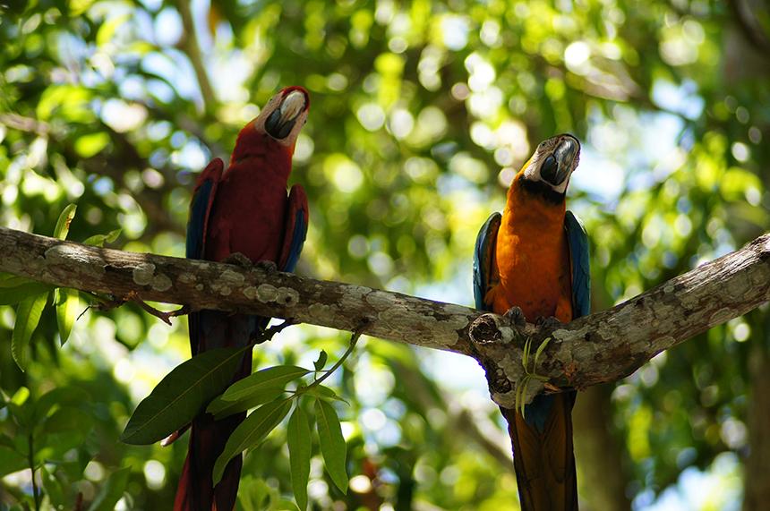 papegaaien, San Gerardo de Dota, San José