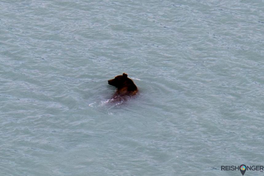 Bruine beer in zee