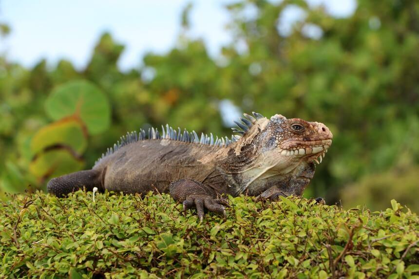 Op het eiland Petite Terre wonen Antilliaanse leguanen