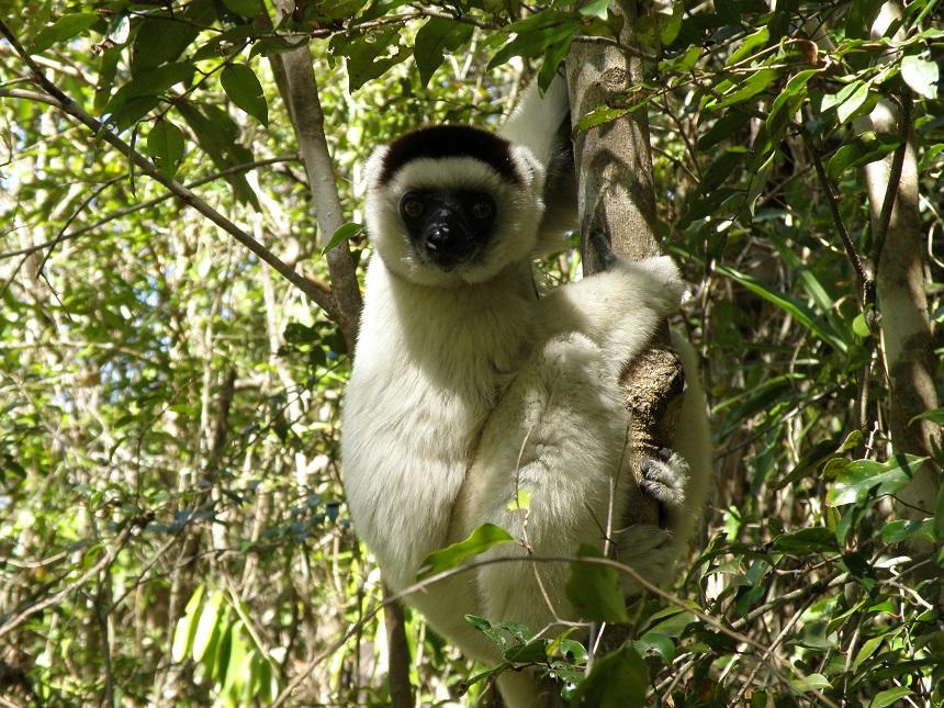 In Madagaskar leven 32 verschillende soorten lemuren