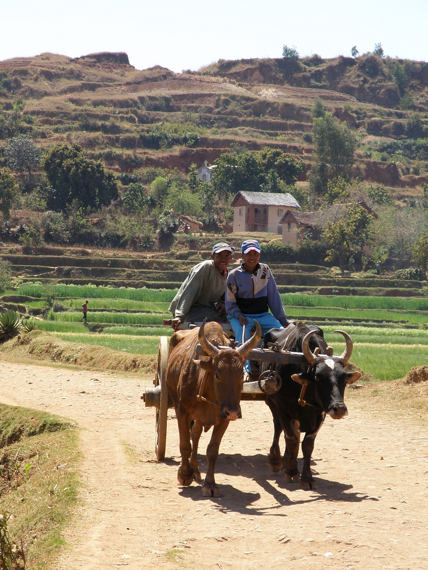 Zeboes kom je in heel Madagaskar tegen als trekdier