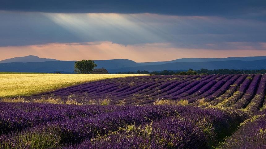 provence_lavendel