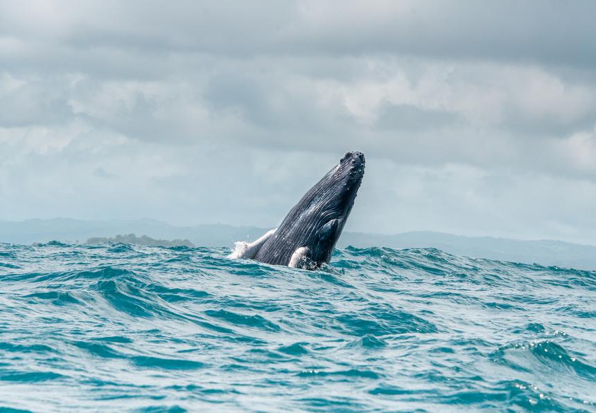 Walvissen van Samana, Dominicaanse Republiek