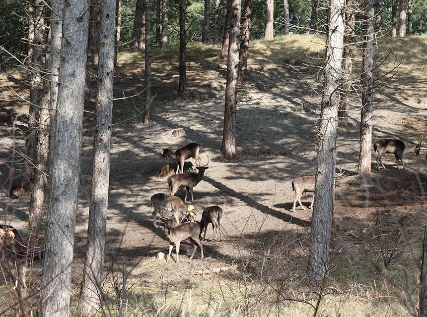 Herten in Boswachterij Westerschouwen